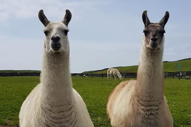 animal-grid-llama