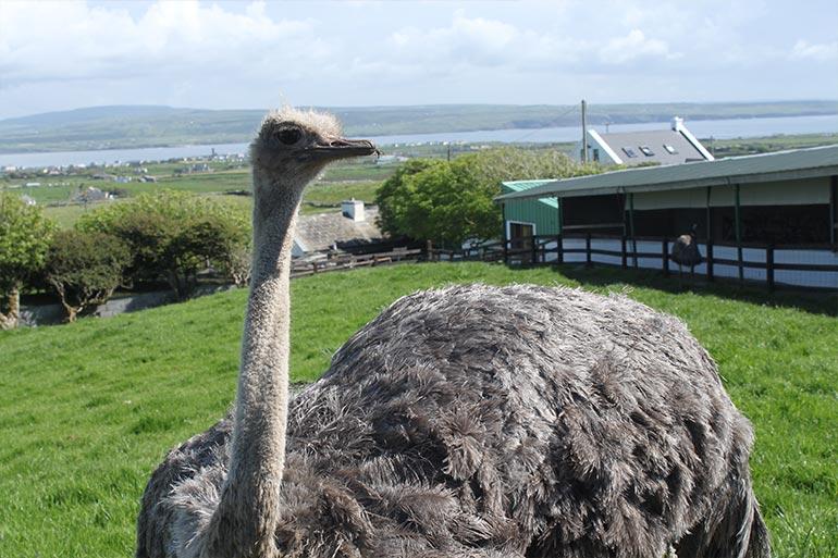 animal-grid-ostrich