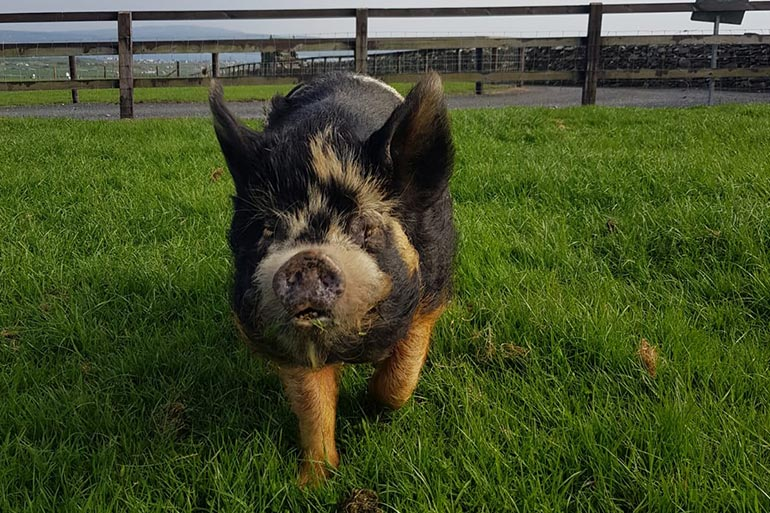 animal-grid-pig