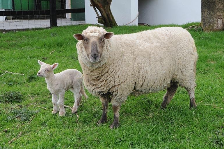 animal-grid-sheep6
